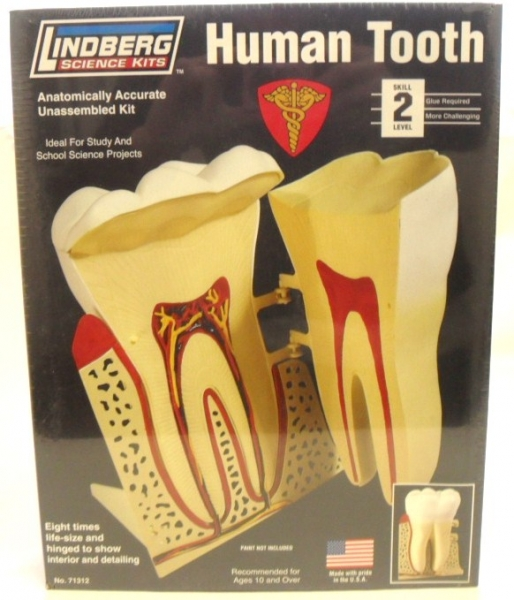 71312 HUMAN TOOTH